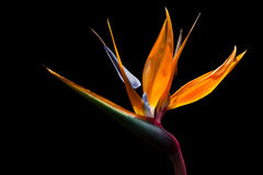 Bird of paradise. On dark background image Stock Photography