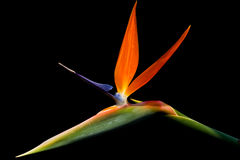 Bird of paradise. On dark background image Stock Image