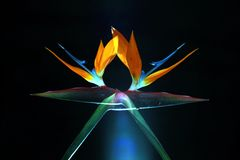 Bird-of-paradise 15. Double image of a bird-of-paradise flower with blue light Stock Image