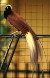 Bird of paradise. The birds of paradise pic taken in Langkawi, Malaysia stock photos
