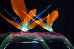 Bird-of-paradise 18. Multiply exposure of a bird-of-paradise flower Stock Photo