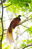 Bird Of Paradise. Lesser Bird of Paradise or Paradisaea minor. One Of the most exotic birds in Papua New Guinea Stock Image