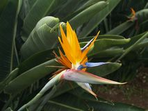 Bird of Paradise. Image of Bird of Paradise flower against a background of Green foliage Stock Photo