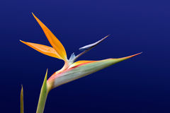 Bird of Paradise 2. Bird of Paradise against blue Stock Photo