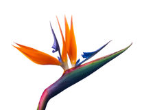 Bird of paradise. Bird-of-paradise flowers on white background Stock Photos