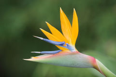 Bird of paradise. Flower closeup Stock Photos