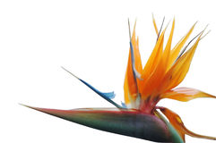 Bird of paradise Royalty Free Stock Images