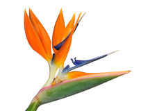Bird of Paradise Stock Photo