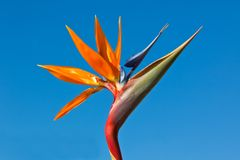 Bird of Paradise Royalty Free Stock Photography