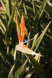Bird of Paradise. From someone Stock Photography