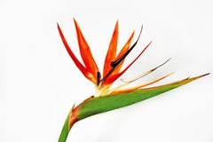 Bird of paradise. Or strelitzia in vibrant colors over white. Isolated Stock Images