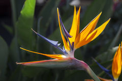 Bird of paradise. Close up of a bird of paradise flower in nature Stock Images