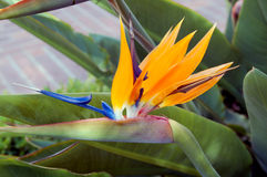 Bird Of Paradise. An isolated shot of a Bird Of Paradise flower Stock Photography
