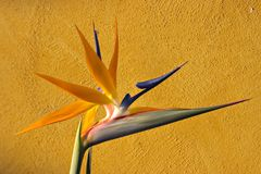 Bird of Paradise. Newly opened Bird of Paradise against texture Royalty Free Stock Images