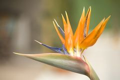 Bird of Paradise Royalty Free Stock Image
