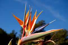 Bird of paradise. Plant Stock Images