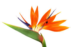 Bird of paradise royalty free stock image