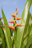 Bird of Paradise. Plant in its natural setting in Hawaii Royalty Free Stock Photo