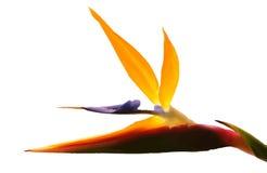 Bird of Paradise. Vectorized bird of paradise with white background Royalty Free Stock Image