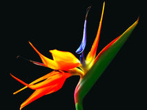 Bird of paradise. Or strelitzia in vibrant colors over black background
