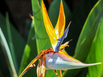 Bird of paradise Beautiful red flower. Strelitzia Reginae Stock Photos