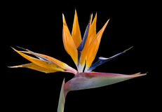 Bird of Paradise on Black. Colorful bird of paradise in bloom against a black background Royalty Free Stock Images