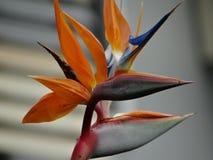 Bird of paradise Stock Photography