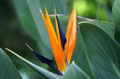 Bird of Paradise Bloom Stock Image