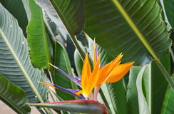 Bird of paradise blooming in garden Royalty Free Stock Images