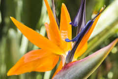 Bird of Paradise Stock Photos