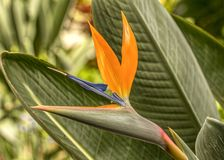 Bird Of Paradise. In conservatory royalty free stock images