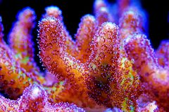 Bird of Paradise SPS Coral - Seriatopora sp. Bird of Paradise coral is the most attractive strain of Seriatopora . This eye-catching coral boasts an electric royalty free stock photo