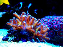 Bird of Paradise SPS Coral - Seriatopora sp. Bird of Paradise coral is the most attractive strain of Seriatopora . This eye-catching coral boasts an electric stock images