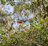 Bird of Paradise, Costa Rica. Bird of Paradise, Mirador de Quetzales, Costa Rica Royalty Free Stock Photo