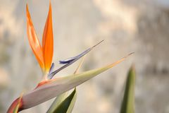 Bird of paradise. Or crane flower is a plant indigenous to South Africa royalty free stock photography