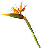 Bird of paradise exotic flower on white background Royalty Free Stock Photos