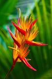 Bird of paradise flower Stock Image
