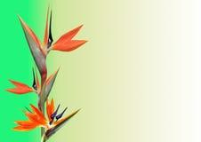 Bird of paradise flower Stock Images