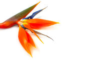 Bird of Paradise Flower. (Strelitzia reginae) with space for text Royalty Free Stock Image