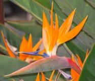 Bird of Paradise flower. A beautiful bird of paradise flower on display Stock Photos