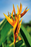 Bird of Paradise Flower Stock Photo