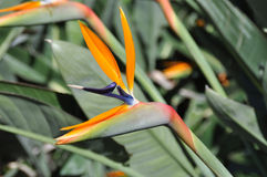 Bird of Paradise flower royalty free stock images