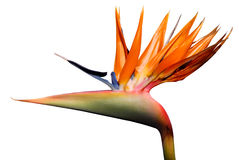 Bird of paradise flower. Isolated of bird of paradise flower Stock Image