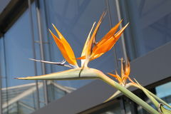 Bird of paradise flower. A bird of paradise flower Stock Photography
