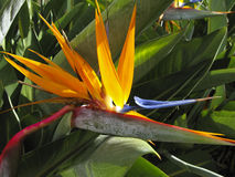 Bird of Paradise Flower. Beautiful Bird of Paradise Flower royalty free stock image