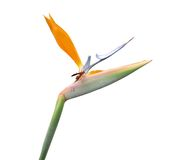 Bird of Paradise flower. Details of a Bird of Paradise flower on white background.  Wasp perched on flower.  Genus:  Strelitzia Royalty Free Stock Photography