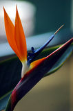Bird of paradise flower Stock Photos