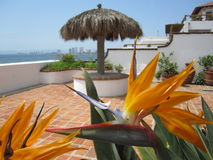 Bird of Paradise flower. By the pool in Puerto Vallarta, Mexico royalty free stock image
