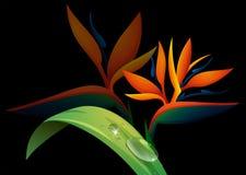 Bird of paradise flower on black background Stock Images