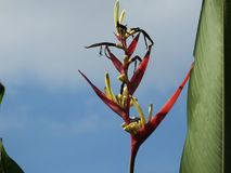 Bird of paradise flower bloom red. And blue sky background Royalty Free Stock Photography